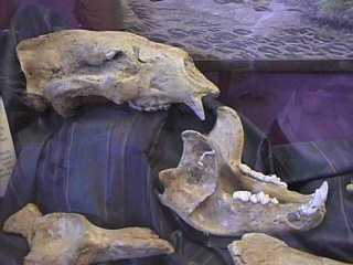 Giant Short-Faced Bear Skull